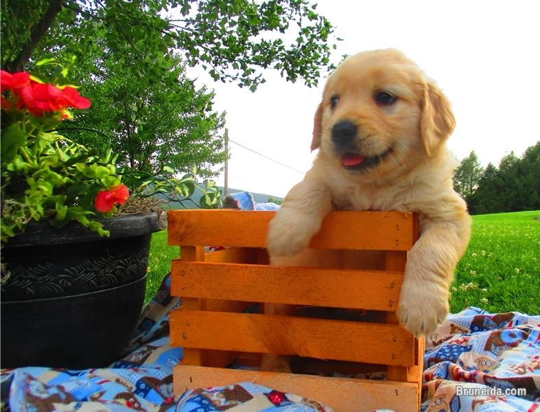 Picture of Golden Retrieve Puppies Ready For Their New Families Now