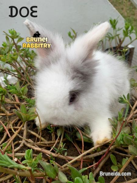 Picture of Bunny for sale