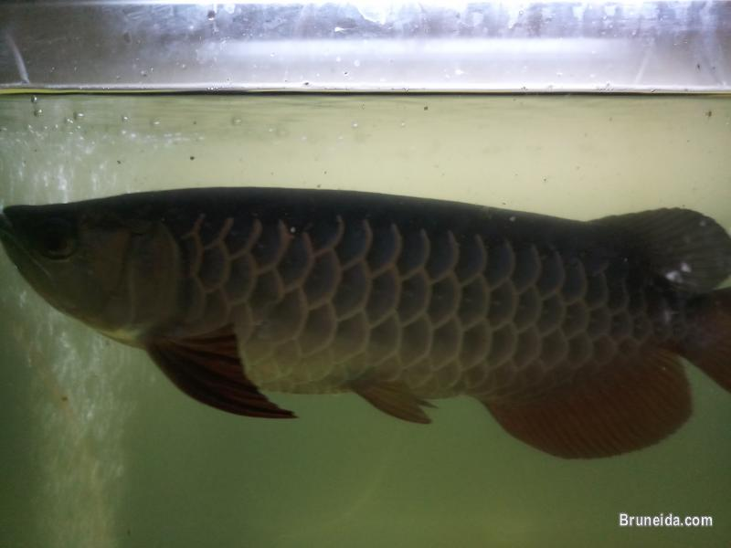 Picture of High Back Golden Arowana for sale