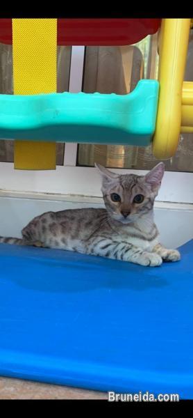 Bengal F3 Kitten 4 Months