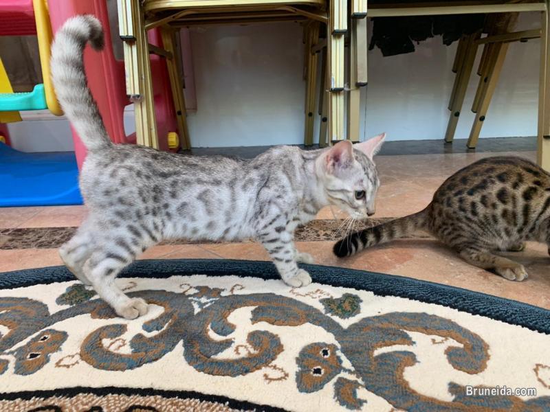 Bengal F3 Kitten 4 Months in Brunei