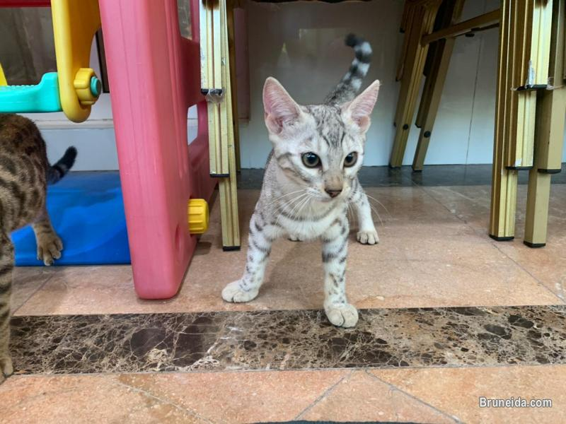 Picture of Bengal F3 Kitten 4 Months in Brunei