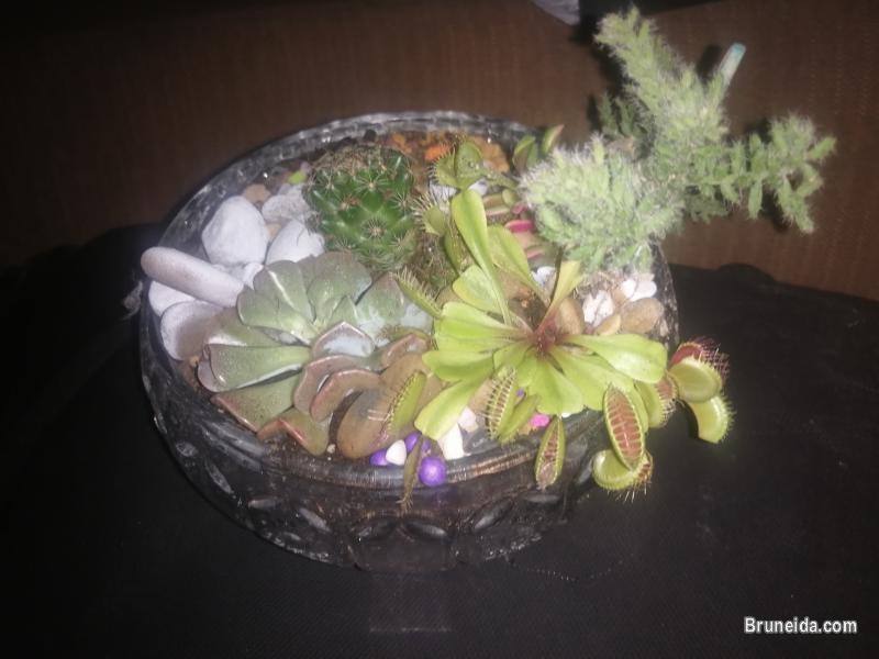 Cactus and succulent plants in Brunei Muara