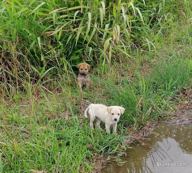 Abandoned Puppies in Brunei Muara
