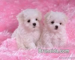 Picture of Outstanding Teacup Maltese Puppies for Sale