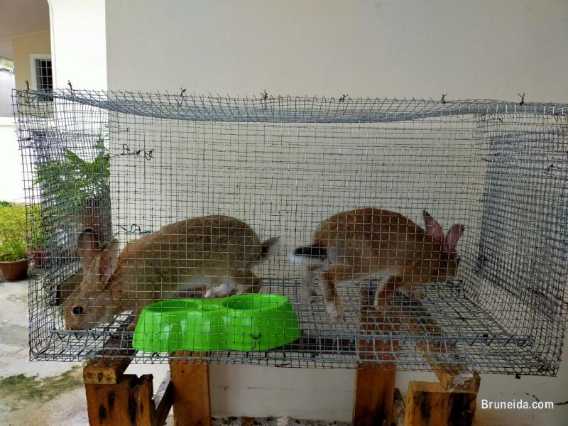 Pictures of Rabbits for sale with Cage`s