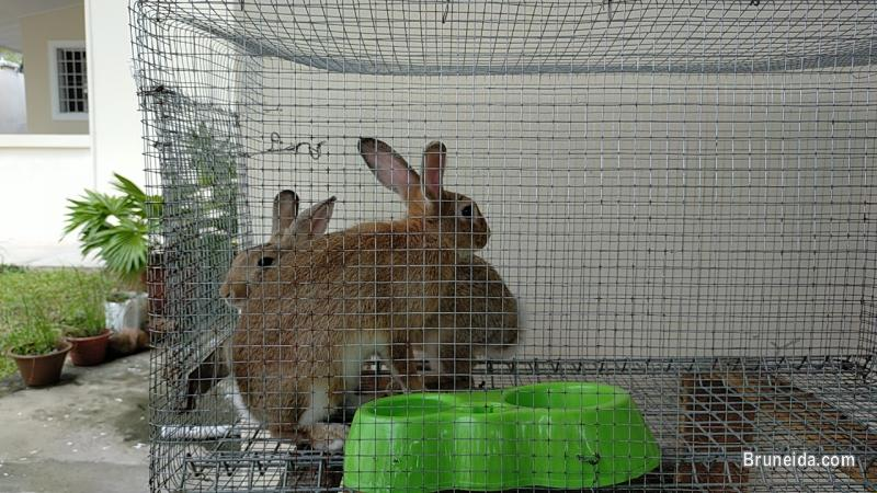 Rabbits for sale with Cage`s