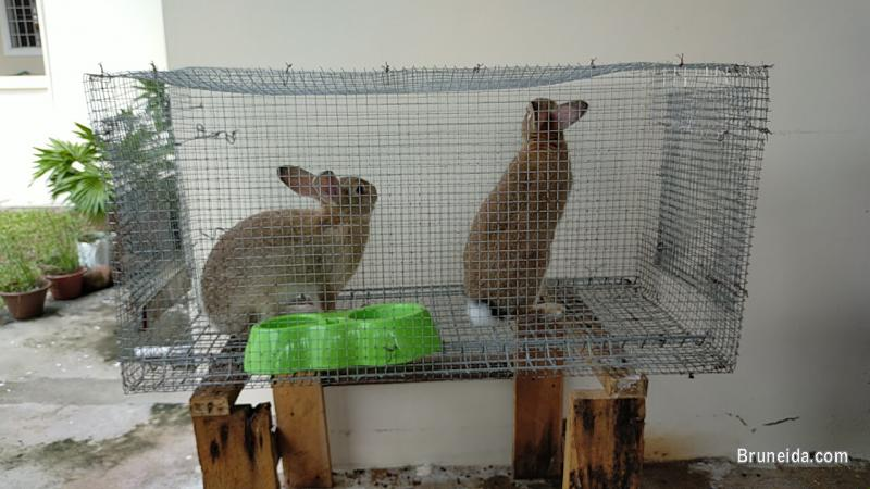 Picture of Rabbits for sale with Cage`s in Belait