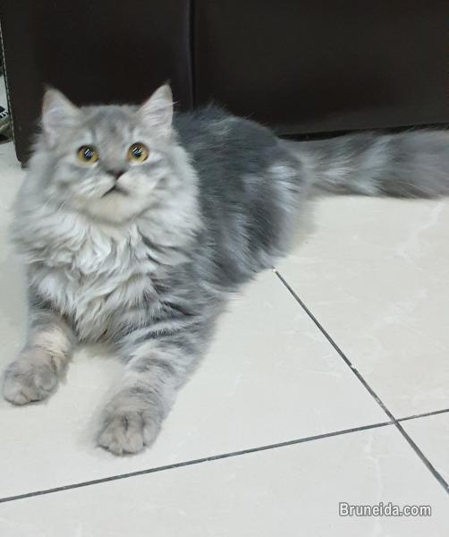 Pictures of Cat for sale (Domestic long hair)