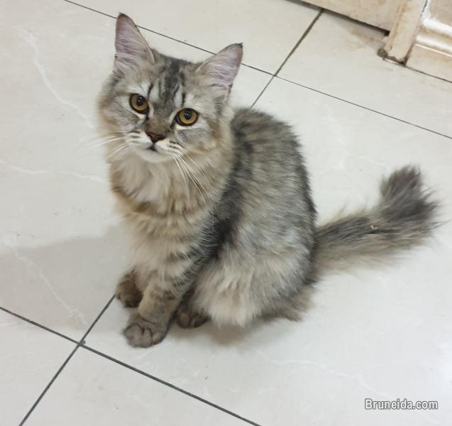 Picture of Cat for sale (Domestic long hair)