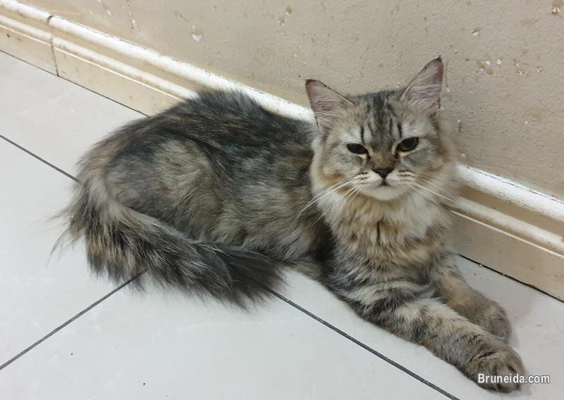 Cat for sale (Domestic long hair)