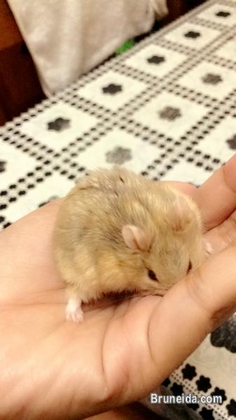 Pictures of Dwarf Hamster