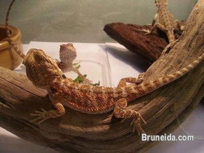 Picture of Red bearded dragon