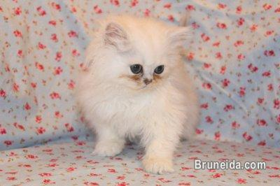 Picture of Charming Persian Babies up for Adoption