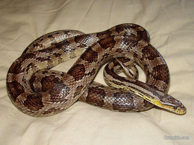 Picture of Adult Asian Duck, Corn Snake, Batik Triangle Python, Hamsters