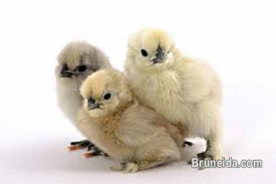 Picture of Chicks, GUINEA PIGs and Syrian Hamsters for sale