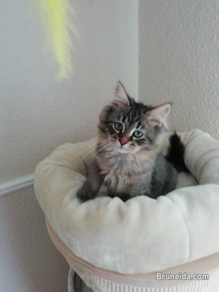 Picture of Anak kucing betina