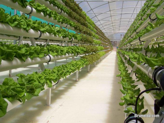 Pictures of Hydroponics Farming Consultant in Brunei