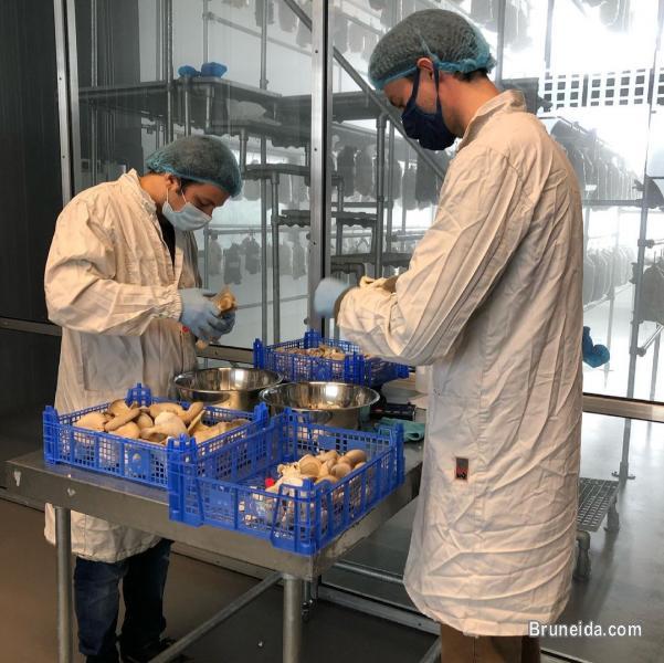 Picture of Mushroom Seeds or Mushroom spawn supplier in Brunei