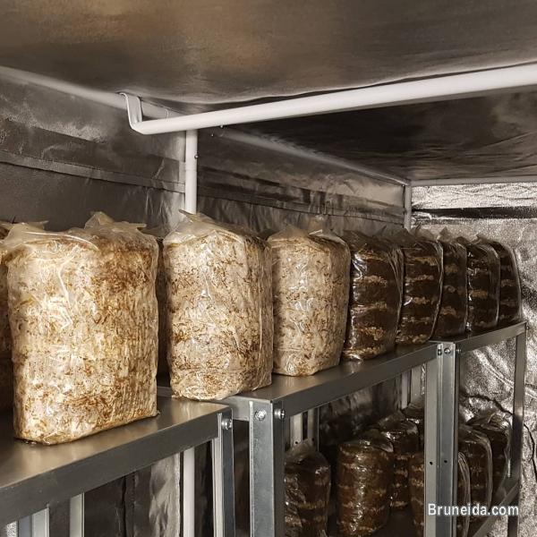 Mushroom Seeds or Mushroom spawn supplier in Brunei in Belait