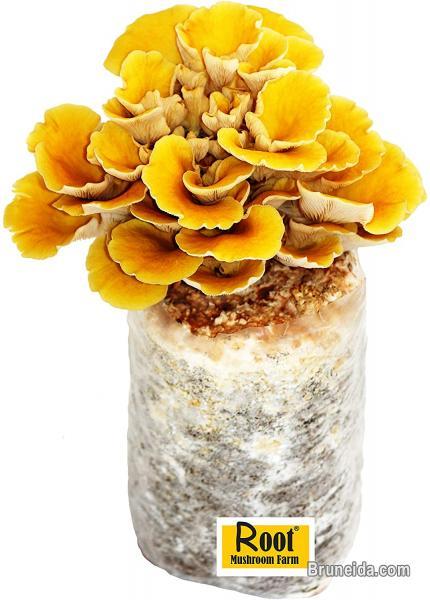 Picture of Mushroom Seeds or Mushroom spawn supplier in Brunei in Belait