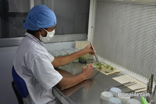 Picture of Six months Hands on Training of Plant Tissue Culture Brunei