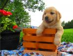 Golden Retrieve Puppies Ready For Their New Families Now