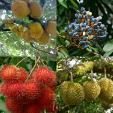 pulau buah-buahan