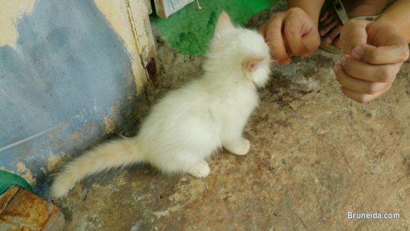 Picture of DLH kittens (1 month old) $150