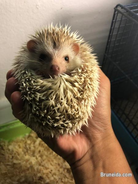 Picture of Juvenile Hedgehogs