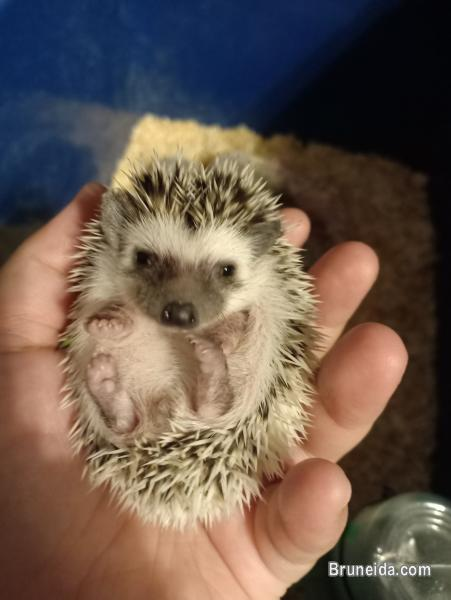 Pictures of Baby Hedgehog for Sale
