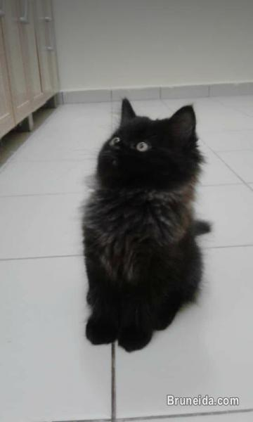 Picture of Kitten for sale