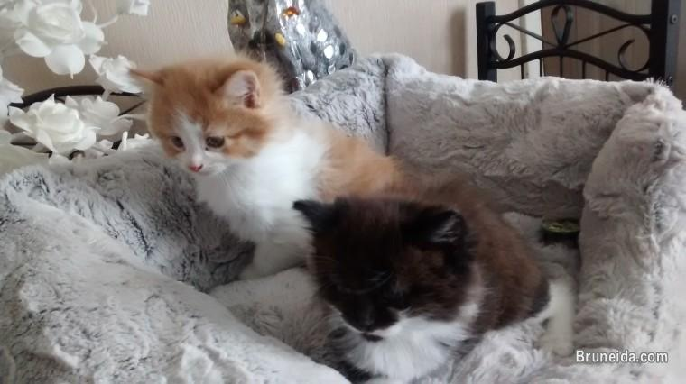 Cute male and female teacup persian kittens