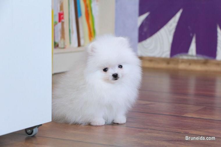 Picture of Priceless White Pomeranian Puppy For Adoption