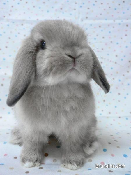 Picture of Holland Lop Wanted