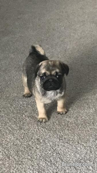 Picture of Male and Female Pug Puppies for Adoption
