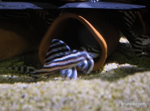 Picture of Good quality L046 zebra pleco