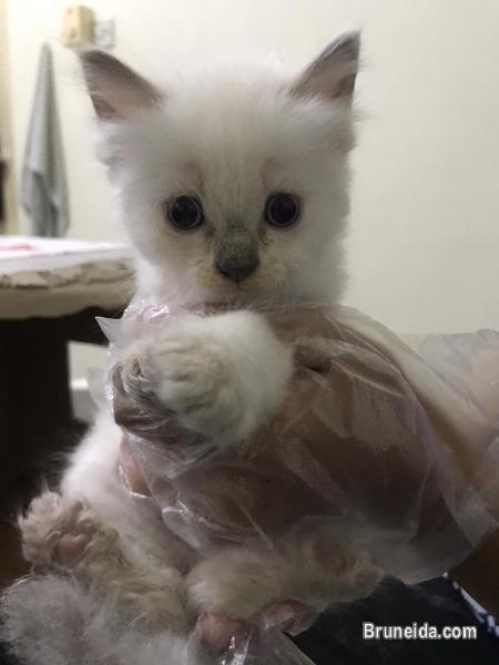 kitten dlh for sale