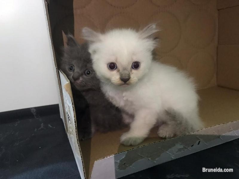Picture of kitten dlh for sale in Brunei Muara