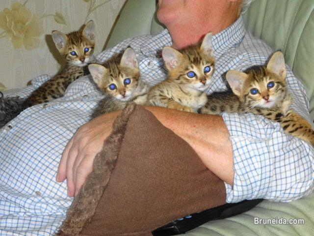 Picture of Home raised Caracals and Serval kittens for sale
