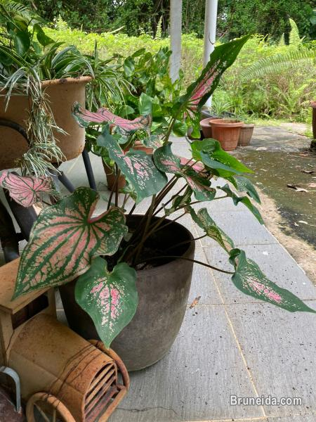 Pots and Plants for sale in Belait