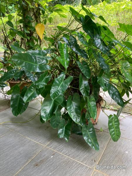 Pots and Plants for sale in Brunei