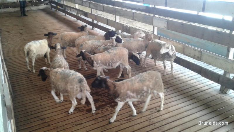 Pictures of Biri-biri Sheeps untuk Ibadah Aqiqah.