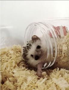 Hedgehog_bn
